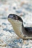Schwarze Ratte-Schlange Stockfotografie