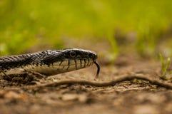 Schwarze Ratte-Schlange Lizenzfreies Stockbild