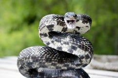 Schwarze Ratten-Schlange umwickelt zum Streik stockfoto