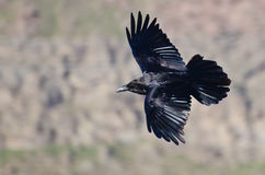 Schwarze Raven Flying Through die Schlucht Stockfotos