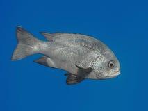 Schwarze Rotbarschfische im Wasser von tropischem Meer (Macolor Niger), herein lizenzfreies stockbild