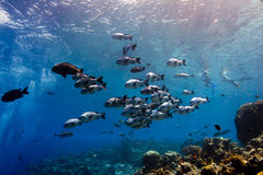 Schwarze Rotbarschmasseschwimmen entlang dem Riff Lizenzfreie Stockfotografie