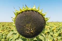 Schwarze Samen der Sonnenblume in der Anlage lizenzfreie stockfotografie