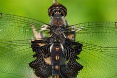 Schwarze Satteltasche-Libelle Stockfoto