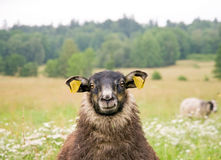 Schwarze Schafe Lizenzfreie Stockfotos