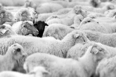 Schwarze Schafe Lizenzfreie Stockbilder