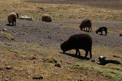 Schwarze Schafe stockfotografie