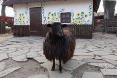 Schwarze Schafe auf dem Hintergrund eines ländlichen Hauses Lizenzfreie Stockbilder