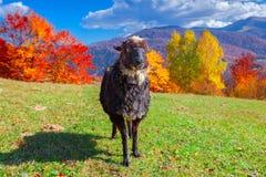 Schwarze Schafe auf Weide stockfotografie