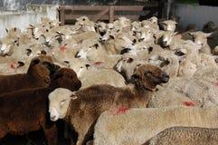 Schwarze Schafe, die versuchen, innen zu befestigen Stockfoto