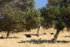 Schwarze Schafe im Olivenhain Lizenzfreies Stockbild