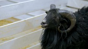 Schwarze Schafe stoßen einen Bretterzaun Lizenzfreie Stockbilder