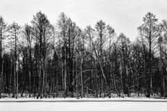 Schwarze Schattenbilder von Bäumen Lizenzfreie Stockfotos
