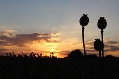 Schwarze Schattenbildmohnblume lizenzfreie stockfotografie