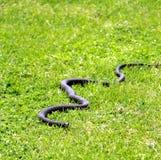 Schwarze Schlange heraus im Gras stockbilder