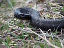 Schwarze Schlange am Wald auf den Blättern bereit zum atack Lizenzfreies Stockbild
