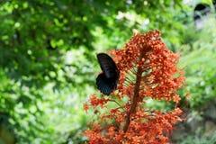 schwarze Schmetterlinge hocken auf roten Blumen lizenzfreies stockbild