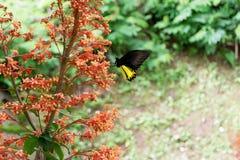 schwarze Schmetterlinge hocken auf roten Blumen lizenzfreie stockfotos