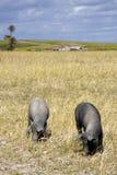 Schwarze Schweine im landwirtschaftlichen Ackerland Stockfotografie