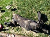 Schwarze Schweine mit pigie und Gans Stockfoto
