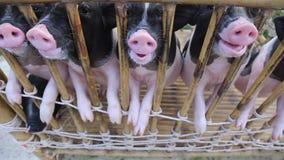 Schwarze Schweinefütterung im Käfig stock video footage