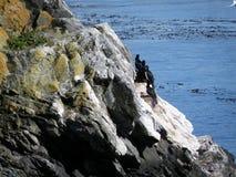 Schwarze Seemöwen, die an den Felsen stillstehen stockfotos