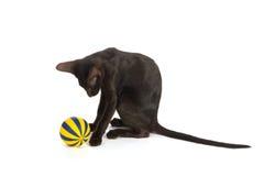 Schwarze siamesische Katze Lizenzfreies Stockbild