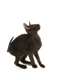 Schwarze siamesische Katze Stockfotografie