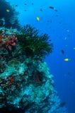 Schwarze Sonnenkorallen- und -rifffische in Banda, Indonesien-Unterwasserfoto Stockfotos