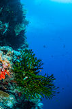 Schwarze Sonnenkorallen- und -rifffische in Banda, Indonesien-Unterwasserfoto Lizenzfreies Stockbild