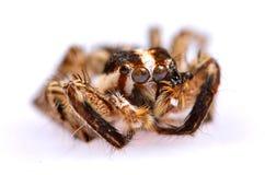 Schwarze springende Spinne Stockfoto