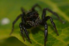 Schwarze springende Spinne Lizenzfreie Stockbilder