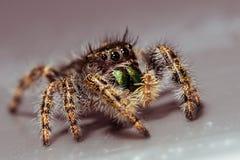 Schwarze springende Spinne auf Gray Surface stockfotos