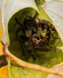 Schwarze springende Spinne isst Fliege mit roten Augen stockfoto