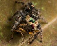 Schwarze springende Spinne isst Fliege mit roten Augen lizenzfreies stockbild