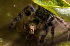 Schwarze springende Spinne isst Fliege mit roten Augen stockbild