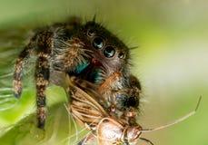 Schwarze springende Spinne mit grünem Mund und Augen isst Wanze Stockfotografie