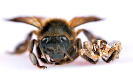 Schwarze springende Spinne und Honigbiene Stockfotografie