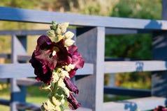 Schwarze Stockrose - Alcea rosea Nigra Stockfotos