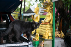 Schwarze Streukatze am allgemeinen thailändischen Tempel Stockfoto