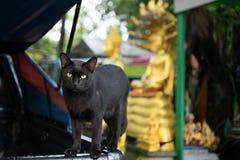 Schwarze Streukatze am allgemeinen thailändischen Tempel Stockfotografie