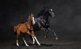 Schwarze Stute und ihr Buchtfohlen Stockfotografie