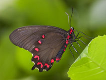 Schwarze swallowtail Basisrecheneinheit Lizenzfreies Stockbild