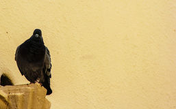 Schwarze Taube lizenzfreie stockbilder