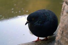 Schwarze Taube am Rand eines Brunnens oder eines Beckens Stockbilder