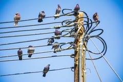 Schwarze Tauben auf Strom Stockfoto