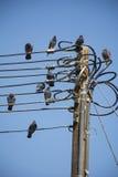 Schwarze Tauben auf Strom stockbild