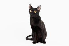 Schwarze traditionelle Bombay-Katze auf weißem Hintergrund Stockfotos