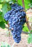 Schwarze Trauben für Rotwein Lizenzfreie Stockfotos