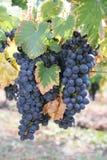 Schwarze Trauben im September-Jahreszeit des Weins Stockfotos